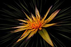 Magic flowerjpg (prokhorov.victor) Tags: цветок цветы природа сад лето макро растения флора