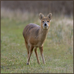 Chinese Water Deer (image 1 of 2) (Full Moon Images) Tags: woodwalton fen greatfen bcn wildlife trust nnr national nature reserve cambridgeshire animal mammal chinese water deer