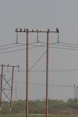 Egyptian Vultures and Steppe Eagle (iamfisheye) Tags: 300mm vr nikon f4 february india d500 naturetrek xqd afs tc14iii pf 2019 gujarat raremammalsandbirdsofgujarat