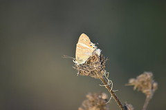 Lampides boeticus (esta_ahi) Tags: lasaulonera olèrdola penedès barcelona spain españa испания mariposa papallona butterfly lampides boeticus lampidesboeticus lycaenidae lepidoptera insectos fauna