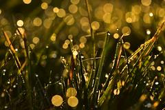 De bien jolies perles naturelles (jnoel.camilleri) Tags: bokeh naturelovers natureetpaysage natureinfocus nature rosée fleurs flowers couleurs colors nikond7200 nikonfrance nikon macro matin naturepaysage