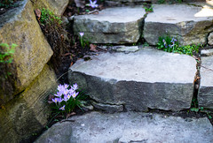 Mind your Step (dlerps) Tags: amount botanicgarden daniellerps eu europe germany hamburg lerps nature northergermany park photography plantenunblomen sony sonyalpha sonyalpha99ii sonyalphaa99mark2 sonyalphaa99ii httplerpsphotography lerpsphotography steps stairs staircase flowers flower blooming stone crocus krokus purple growing spring blossoms blossom de carlzeiss planart1450 plant carlzeissplanar50mmf14ssm