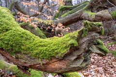 Reinhardswald/Urwald (Sabine Kierstead) Tags: reinhardswald urwald natur nature naturfotografie landschaft landscape baum tree moos fuji hessen detail travel vhs
