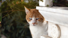the look (nikman.) Tags: cat look canon eos 6d sigma 24105mm f4 nikman cyclades greece