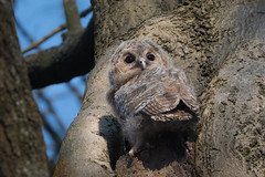 Juvenile Tawny owl (JS_71) Tags: nature wildlife nikon photography outdoor 500mm bird new spring see natur pose moment outside animal flickr colour poland sunshine beak feather nikkor d500 wildbirds planet global national wing eye watcher