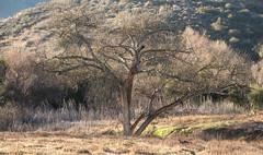 PEDB20190108-012 (EricBier) Tags: 20190108missiontrails abbreviationforplace artwork biological category event grasslandslooptrail grsslndslp hike missiontrailspark notripod oaktree photographyprocedure place plantae trail tree