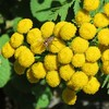 Tanacetum vulgare (Oriolus84) Tags: tansy tanacetumvulgare tanacetum asteraceae hobart tasmania plant flower yellow button commontansy botanicgardens royaltasmanianbotanicalgardens flowers