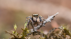 Evarcha falcata (Clerck, 1757), male (Benjamin Fabian) Tags: jumping spider araneae salticidae arthropod macro close up portrait cute evarcha falcata