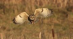 Short-eared Owl      (Asio flammeus) (nick.linda) Tags: shortearedowl asioflammeus owls birdsofprey birdsinflight wildandfree northeastengland canon7dmkii