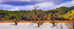 Flooded Gums, Lake Eildon, Victoria Australia (Peter.Stokes) Tags: australia australian colour landscape nature outdoors photo photography outback panorama vacations landscapes lakeeildon sun sky lake victoria
