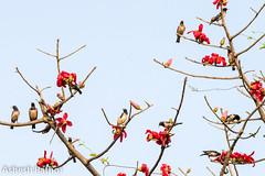 Rosy Starlings (asheshr) Tags: 200500mm pastorroseus bird birds birdsofcuttack birdsofindia birdsofindiansubcontinent birdsofodisha birdsoforissa cuttack d7200 nikon odisha rosystarling starling starlings