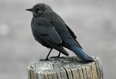 Little blackbird (thomasgorman1) Tags: bird wood stump cowbird nature animal nikon blackbird