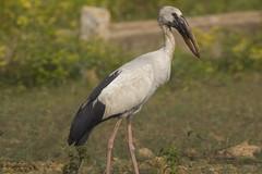 Asian Openbill (Shobhan (Bannu)) Tags: openbill asianopenbill birds birdseyeview migration avian