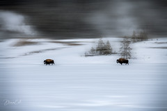 Just keep on walking (Selectivebits) Tags: yellowstone nationalpark winter bison animal snow bestcapturesaoi intoheartx19 platinumheartaward soupx22 200 lifejourneyx18