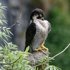 IMGP7875_DxO (douglasjarvis995) Tags: peregrine bird animal falcon wild wildlife avian malham yorkshire pentax k3 300mm