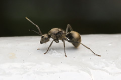 Polyrhachis ant...apparently. (ColinParker777) Tags: ant army insect bug bugs miniature macro small worker hong kong coombe road peak creepy crawlies crawly