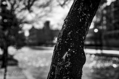 The Texture of Tree (Aaron Hufnagel) Tags: nikon nikond600 d600 tokina tokina2870mm tokinaatx atx 2870mm landscape indianapolis indiana indianapolisindiana city cityscape downtown indycanal canal culturaltrail streetphotography tree depthoffield dof blackandwhite bw bokeh