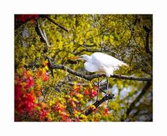 Spring at Last (George McHenry Photography) Tags: birds shorebirds egrets greategret southcarolinabirds southcarolina