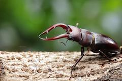 2J4A0616 (ajstone2548) Tags: 03月 鞘翅目 高砂鋸鍬形蟲