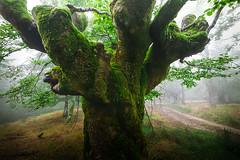 FUJI UBIDEA 1 (juan luis olaeta) Tags: natura forest bosque basoa hayedo pagoa paisajes landscape fog laiñoa nieblas photoshop lightroom ubidea