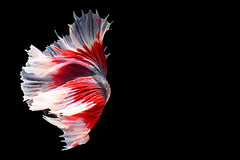 Siamese fighting fish isolated on black background. Fish three color. Betta Fish on black Background. Black isolate. Space for text. (pomp_jaideaw) Tags: fish fighting siamese betta black isolated background animal motion white aquarium beauty beautiful splendens tail fight nature abstract exotic tropical aquatic red half moon swimming crown aggressive fin dragon color art space water colorful blue dress pet biology fancy beta plakad luxury domestic action underwater design macro moving thai