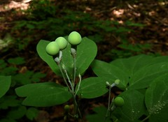 Blue Cohosh Berries (jmunt) Tags: wildflower nativewildflower berries nature