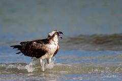 Mom!!  Mom!!  Mom!! (craig goettsch - out shooting) Tags: sanibel2018 birdofprey raptor osprey bird avian ocean beach wildlife nature nikon d850