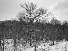 Tall Tree (mswan777) Tags: nature outdoor mobile iphone iphoneography apple white black ansel monochrome landscape hike michigan stevensville winter cold snow cloud sky dune wood forest tree