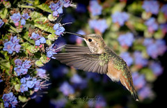 Huntington Beach Central Park 4.13.19 6 (Marcie Gonzalez) Tags: 2019 secret garden hummingbird hummingbirds hummer hummers fly fast wing midair mid air sunlight soft bird birds purple stem flower flowers branch branches nature wildlife huntington beach central park parks gardens california socal southern so cal ca calif usa america orange county pretty sweet humming wings small beautiful north animal marcie gonzalez marciegonzalez marciegonzalezphotography photography canon united states huntingtoncentrapark huntingtoncentralpark