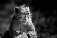 Long-tailed macaque, Baluran national park, Indonesia (pas le matin) Tags: animal wildlife nature monkey singe travel voyage world bw nb monochrome blackandwhite noiretblanc canon 7d canoneos7d eos7d asia asie indonesia indonésie southeastasia baluran nationalpark balurannationalpark macaque macaquecrabier macacafascicularis macaqueàlonguequeue crabeatingmacaque longtailedmacaque