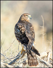 Northern Harrier (Ed Sivon) Tags: america canon nature lasvegas wildlife wild western southwest desert clarkcounty vegas flickr birdofprey bird henderson hawk nevada