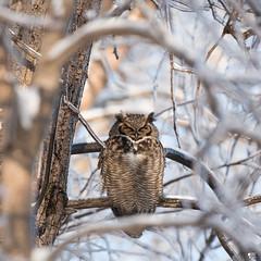 ''Repos! Grand-duc d'Amérique-Great horned owl (pascaleforest) Tags: oisea bird animal owl hibou passion nikon nature wild wildlife faune québec canada ice glace verglas arbre tree