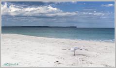 Seagull Yoga (itsallgoodamanda) Tags: seascape sea seaside seascapephotography serene seabird scavenger seagull whitesand aquaocean aquawater aquasea pointperpendicular sky beach beautifulbeach bluesky blueocean shoalhaven southcoast amandarainphotography australia australianphotography australianlandscape australiassouthcoast summer2019 jervisbayphotography jervisbay jervisbaynationalpark jervisbaymarinepark vincentia newsouthwales nelsonsbeach landscape landscapecoast coastallandscape coastal clouds colourfullandscape coastline coast calmocean pristinebeach photography photoborder peaceful prettybeach itsallgoodamanda