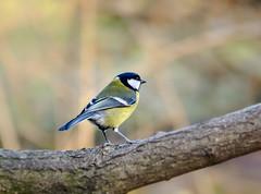 sikorka bogatka  - ( Parus major ) (adenkis) Tags: bird nature naturephotography bokeh natureinfocusgroup
