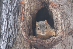 246/365/3898 (February 12, 2019) -Fox Squirrels on a Cold, Icy, Snowy & All-Together Lousy Winter's Day in Ann Arbor at the University of Michigan -  February 12th, 2019 (cseeman) Tags: gobluesquirrels squirrels foxsquirrels easternfoxsquirrels michiganfoxsquirrels universityofmichiganfoxsquirrels annarbor michigan animal campus universityofmichigan umsquirrels02122019 winter eating peanuts februaryumsquirrel ice snow snowy cavitynest cavitytreenest climber squirrelclimber wet rainy freezingrain 2019project365coreys yearelevenproject365coreys project365 p365cs022019 356project2019