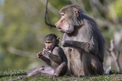 Baby Hamadryas Baboon (San Diego Zoo Global) Tags: animals nature sandiegozoo conservation wildlife baboon monkey primate