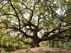 Regionale Veloce / 45 (Attimo) Tags: italia toscana lucca capannori montesancarlo quercia streghe estate alberi 2018 regionaleveloce