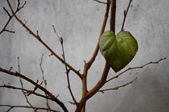 Cold Valentine - Freddo Valentino (Eleonora Testa) Tags: celebrate valentine valentino sweet love amore amour leaf leaves foglia foglie tree albero winter inverno cold freddo green grey verde grigio