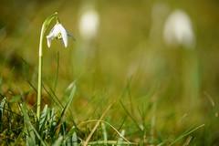 Märzenbecher (KaAuenwasser) Tags: frühlingsknotenblume märzenbecher märzglöckchen märzbecher grosesschneeglöckchen leucojumvernum blume blüte blüten pflanze zierblume grün wiese gras sonne schatten makro sony ilce7rm3