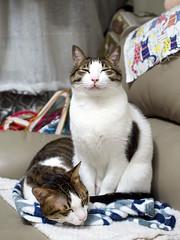 Sam & Jim (Steve only) Tags: olympus pen ep5 mzuiko digital 17mm 118 f18 1718 cats sam jim