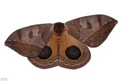 Giant silkworm moth (Automeris sp.) (ggallice) Tags: automeris moth lepidoptera saturniidae eyespot orange riobigal riobigalbiologicalreserve sumaco ecuador foothills rainforest amazon napo jungle