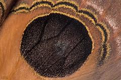 Eyespot (Automeris sp.) (ggallice) Tags: automeris moth lepidoptera saturniidae eyespot orange riobigal riobigalbiologicalreserve sumaco ecuador foothills rainforest amazon napo jungle