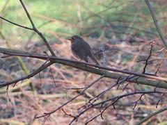 Buitenplaats Leyduin (Liekesfotos) Tags: vogel bird roodborstje robin natuur nature bos forest dier animal