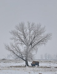 February 26, 2019 - A bison under a frost-covered tree. (Bill Hutchinson)