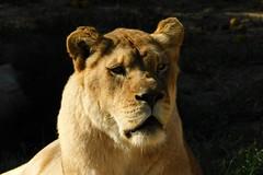Memphis Zoo (Tiger_Jack) Tags: zoo zoos zoosofnorthamerica memphiszoo lions flickrbigcats bigcat bigcats