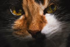 Лилу (donnicky) Tags: cat closeup domesticanimal home lookingatcamera oneanimal pet publicsec лилу