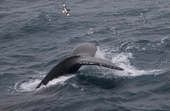 Humpback whale tail up, surrounded by Antarctic Prions and a Cape Petrel (Paul Cottis) Tags: swim humpback whale cetacean paulcottis marine mammal southgeorgia southatlantic fluke seabird fly petrel prion pachyptiladesolata dive