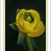 RENONCULE :« L'amour, s'il tient en une seule fleur, est infini », Antonio Porchia.