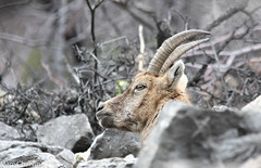 Etagne (charvin7352) Tags: bouquetin etagne ibex animalier animal alpes alps animauxdemontagne nature naturephotography faune mammifère photonature mountainanimals montagne mountain savoie maurienne wildlife