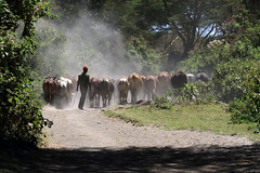 Kenya 2019 (Ian Macfadyen) Tags: kenya safari wildlifephotography canonuser crescentisland lake cattle cows herd masai herdsman herdingcattle makingadust